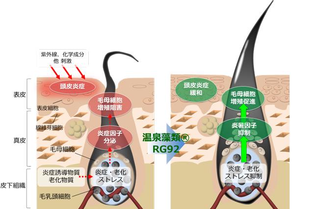 温泉藻類®RG92エキスの作用機構