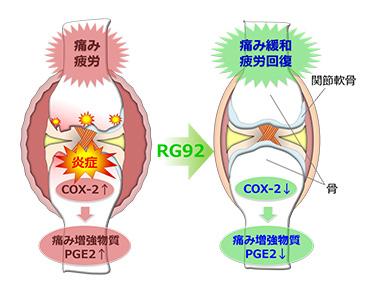 温泉藻類®RG92の痛み・疲労軽減効果の作用機序